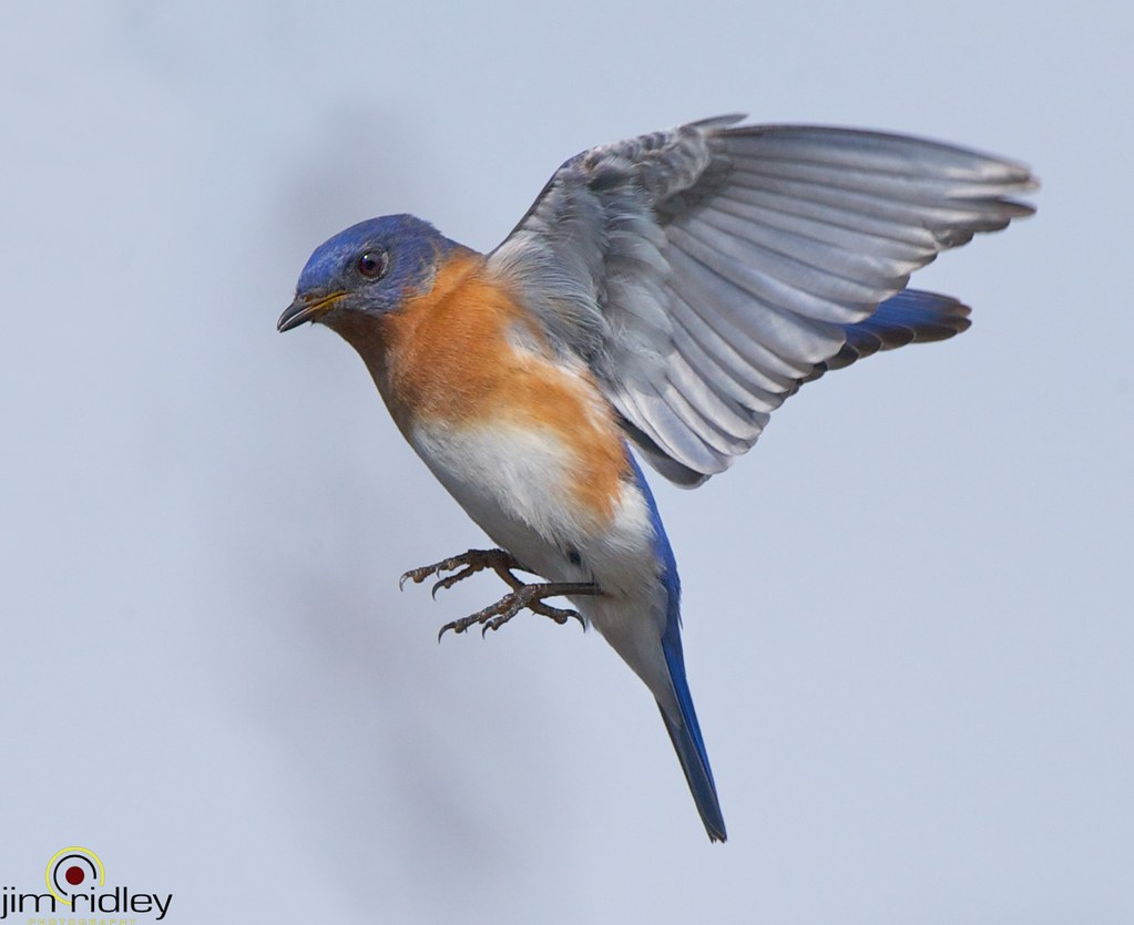 Eastern Bluebird Flying! | www.facebook.com/pages/Jim ...