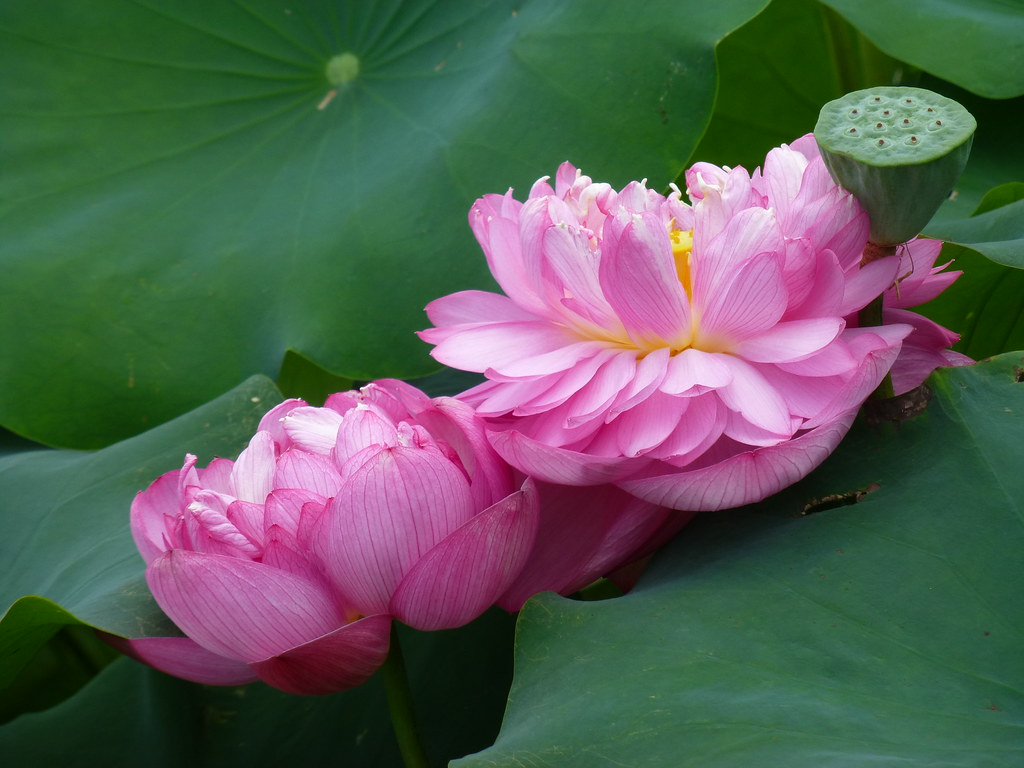 Double Lotus Flowers From A Big Lotus Pond In Macau Flickr
