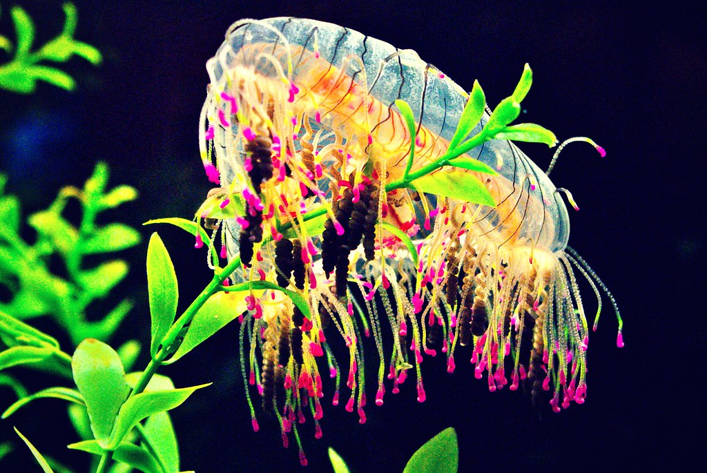 flower hat jellyfish - photo #11
