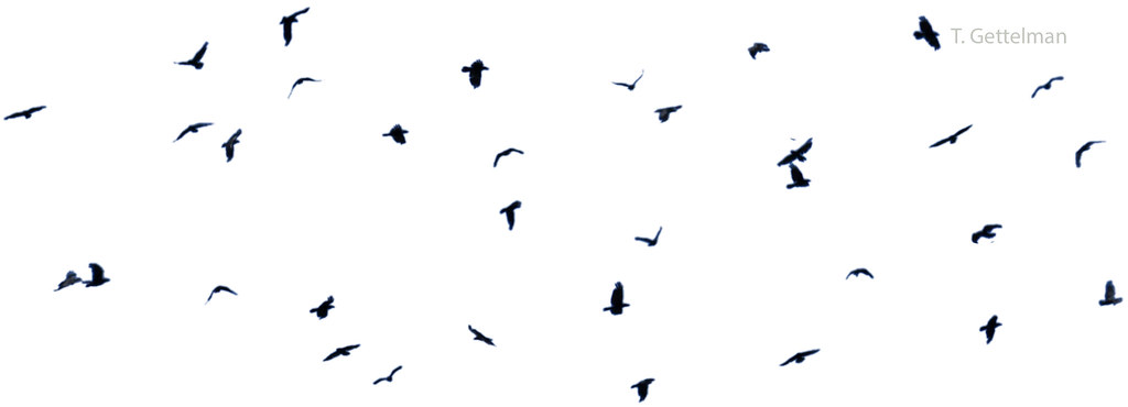 Raven Flock Birds Raven Flock Long