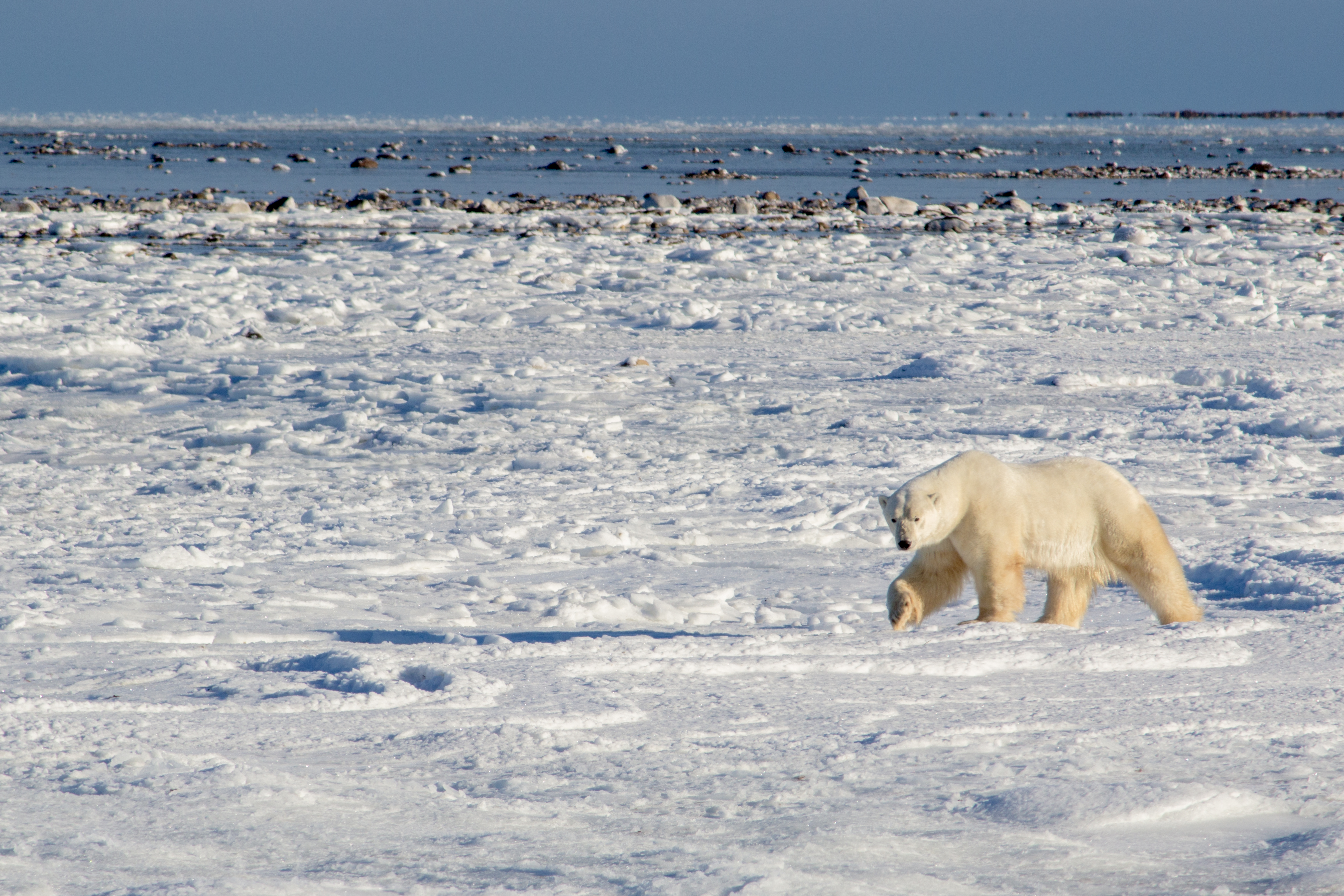 Wild Polar Bears in Churchill