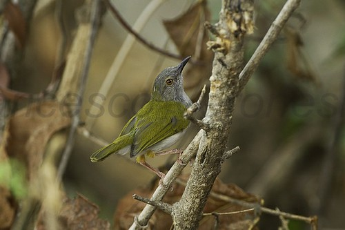 Green-backed Camaroptera - Liwonde Nat.Park - Malawi_S4E3341 | by fveronesi1