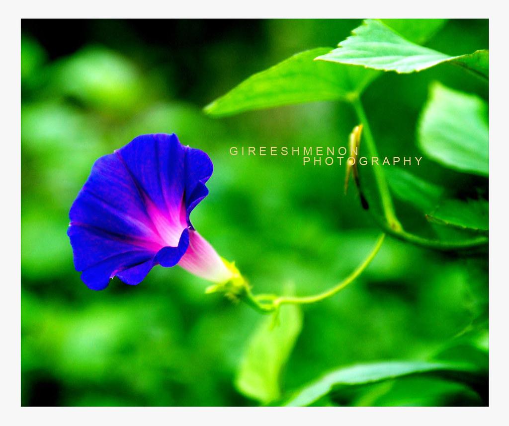 Blue dawn flower ipomoea indica oceanblue morning glory flickr gireeshmenonvallath blue dawn flower ipomoea indica by gireeshmenonvallath izmirmasajfo Choice Image