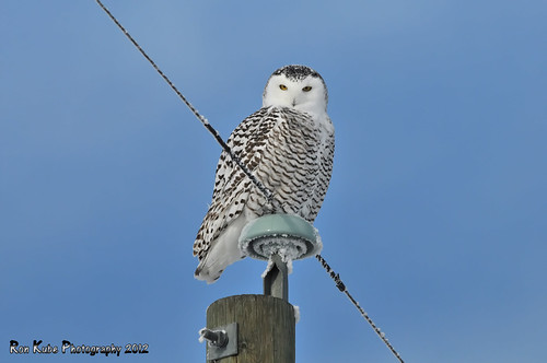 Snowy Owl DSC_4015 | by Ron Kube Photography