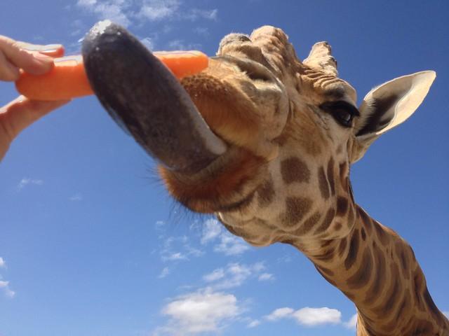 Giraffe Eating Food
