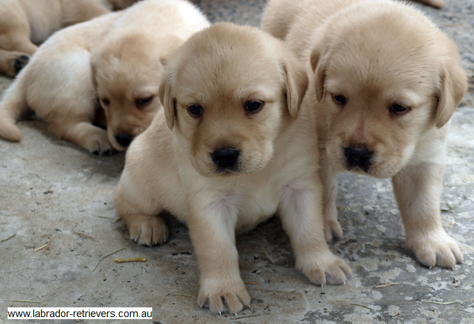 Gumtree Dogs For Sale Scotland