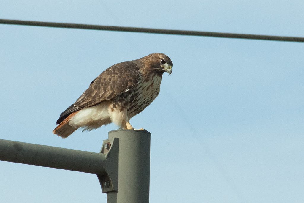 Red Tailed Hawk Perched Red Tailed Hawk | Red ...