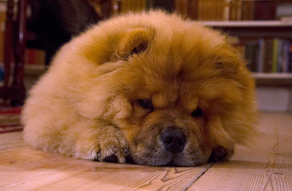 Chow Chow Male Dog For Sale On Gumtree Uk