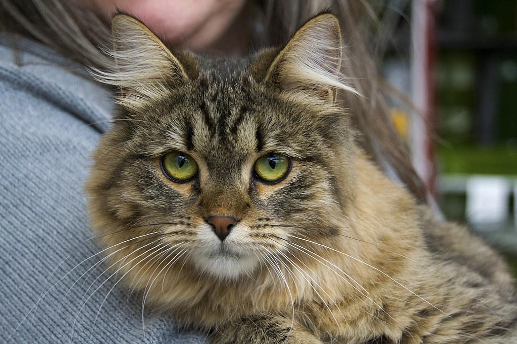 Gatita preciosa con los ojos verdes gatita siberiana en for Verdecora torrelodones