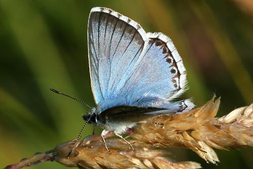 Chalkhill Blue Polyommatus coridon