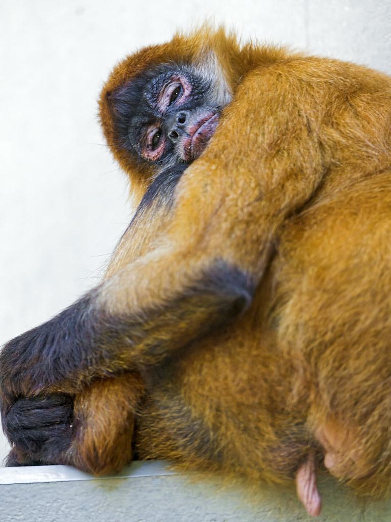 Can chimpanzees learn human language?