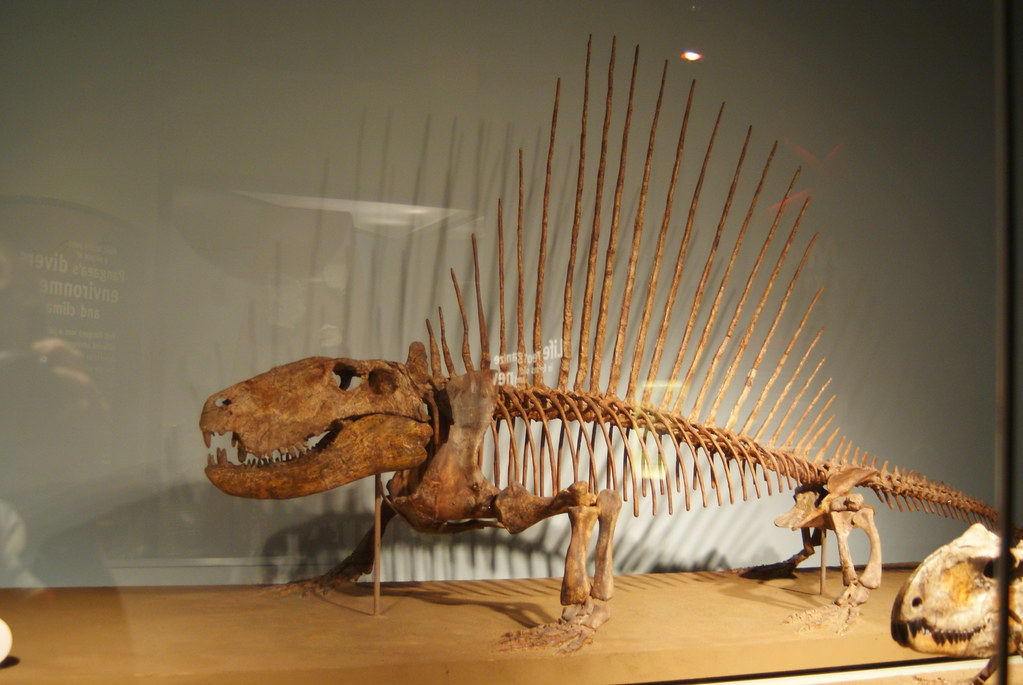 dimetrodon grandis at the evolving planet exhibit at the f