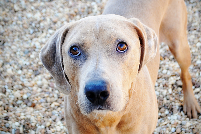 Peety...Catahoula hound mix..Gorgeous boy! And very very loving ...