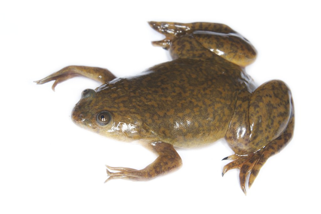 Image result for xenopus