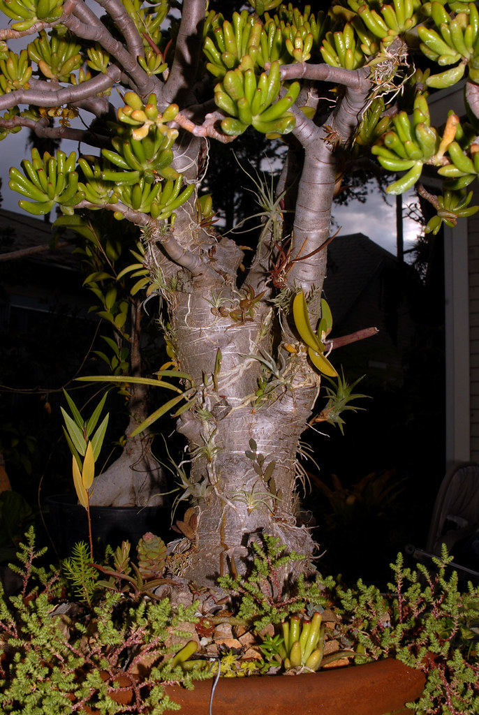 Crassula Bonsai With Orchids 3a Every Bonsai Should Have