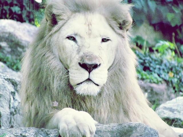 Albino Lion Flickr Photo Sharing