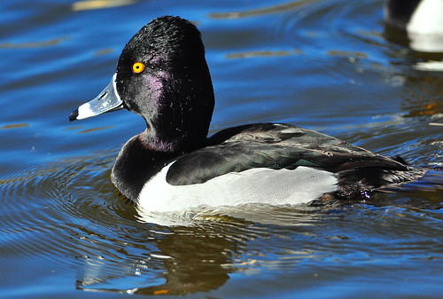 Goldeneye Duck   I took my camera for a walk this morning