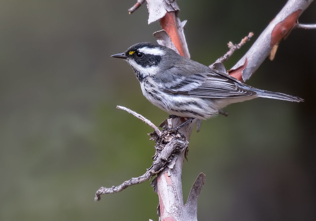Black-throated-Gray-Warbler-19-7D2-082116