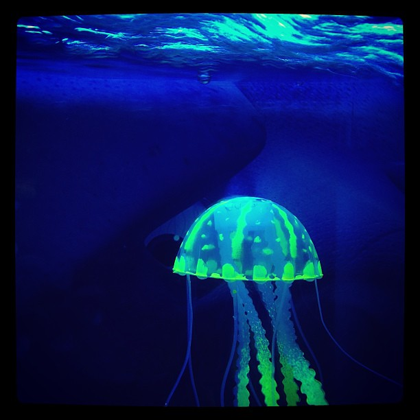 Freshwater Jellyfish For Aquarium