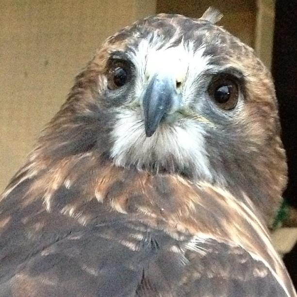 cute hawk closeup pretty eyes skye nimals flickr