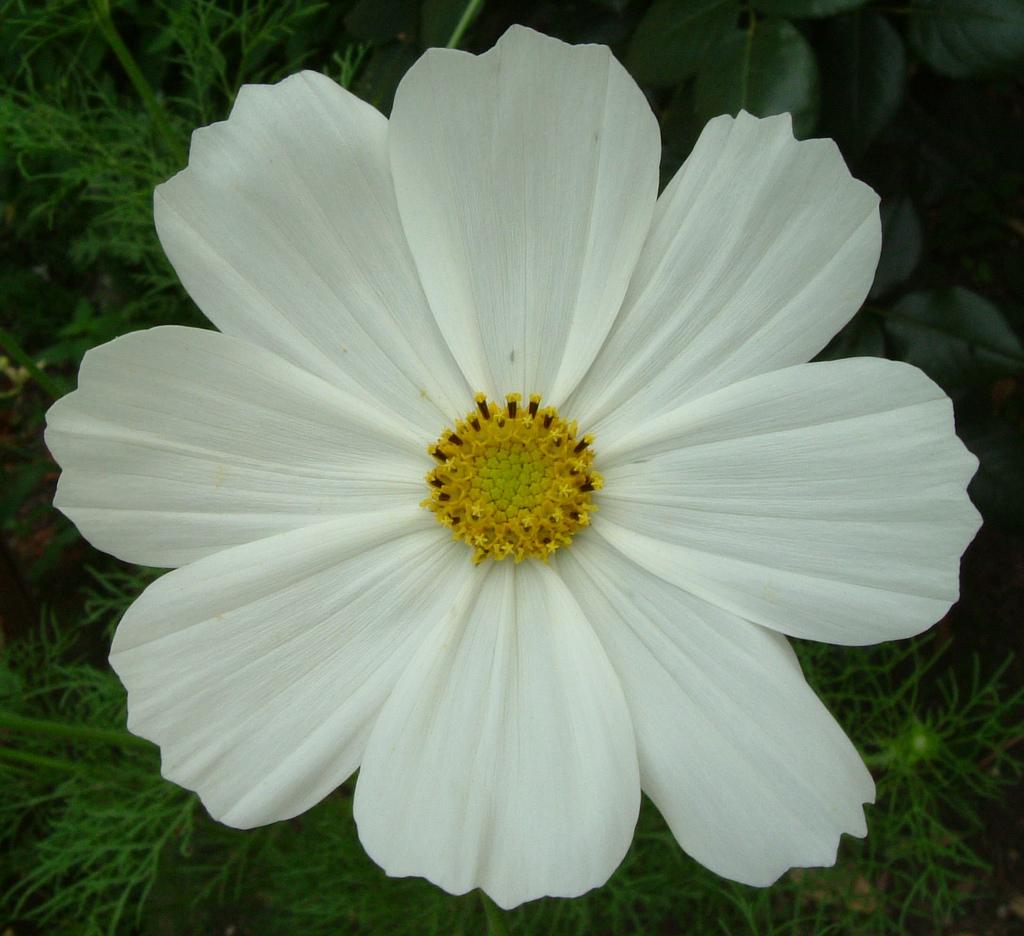 Pretty white cosmo flower of la brande charente maritime flickr pretty white cosmo flower of la brande charente maritime south west france mightylinksfo