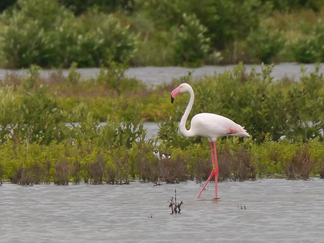 Greater Flamingo - 1
