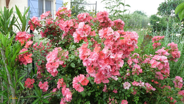 Mon jardin primtemps 2012 rosier arbustif 39 douceur normande 39 1 - Rosier douceur normande ...