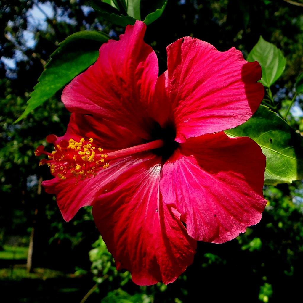 Cayena fucsia (Hibiscus rosa-sinensis)  Lugar: Finca La ...