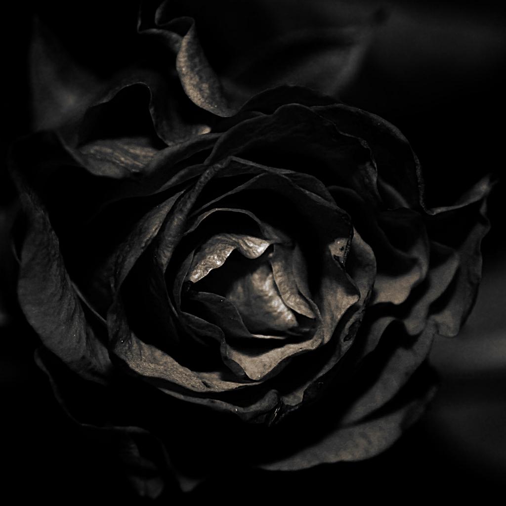 schwarze rose black rose mit neuem blitz in der dunklen flickr. Black Bedroom Furniture Sets. Home Design Ideas