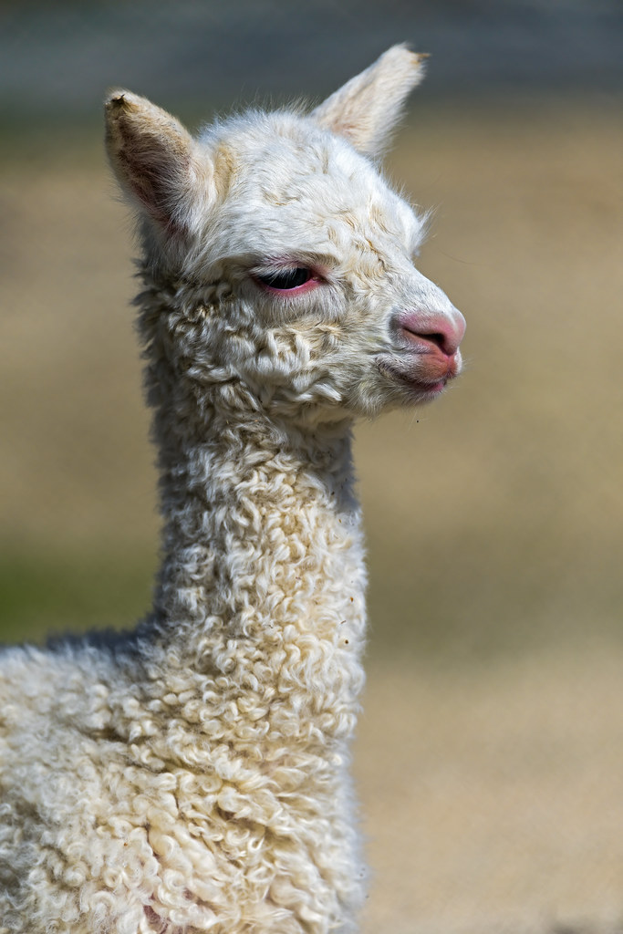 An adorable baby llama | This cute baby llama was the star ...