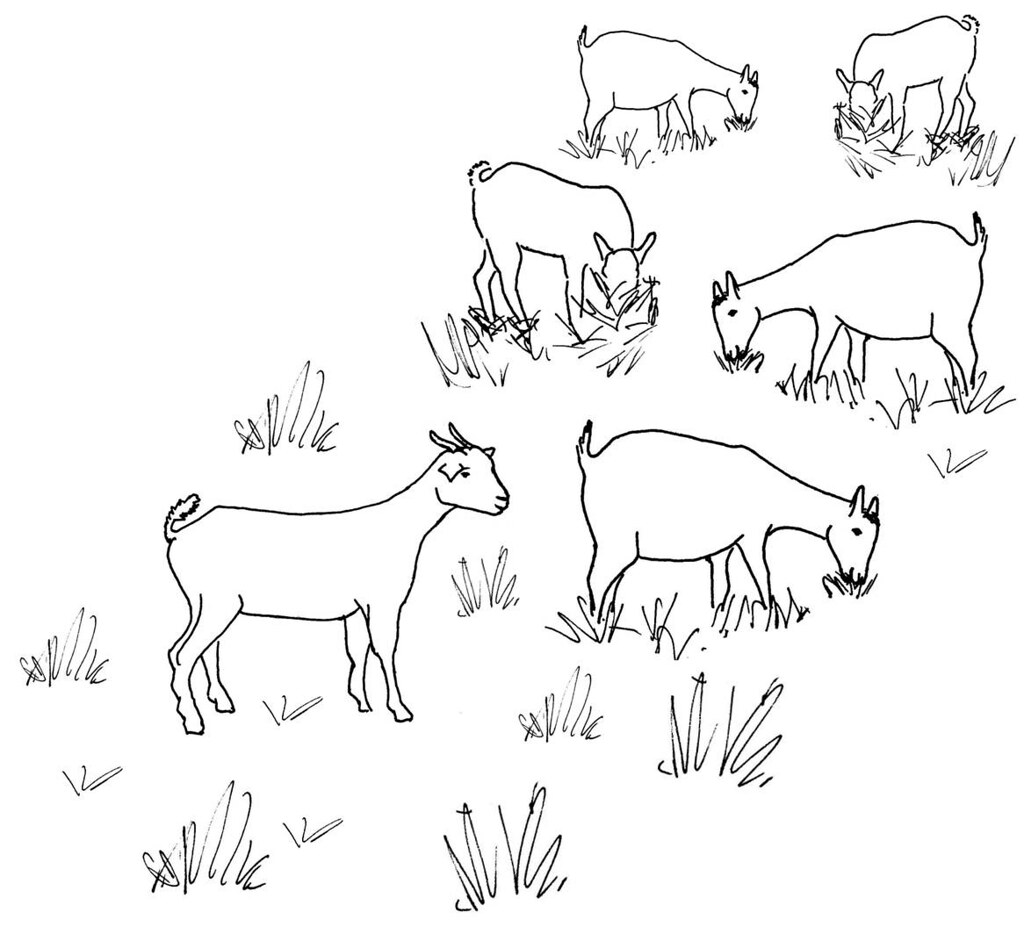 Line Drawing Goat : Line drawing of a grazing goat herd used as extension