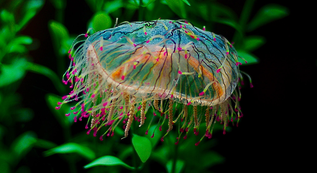 flower hat jellyfish - photo #16