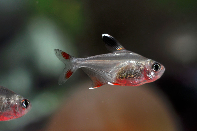 Орнатус обыкновенный  (Hyphessobrycon ornatus), фото фотография рыбки