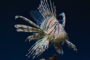 Lionfish | by Michael Bentley