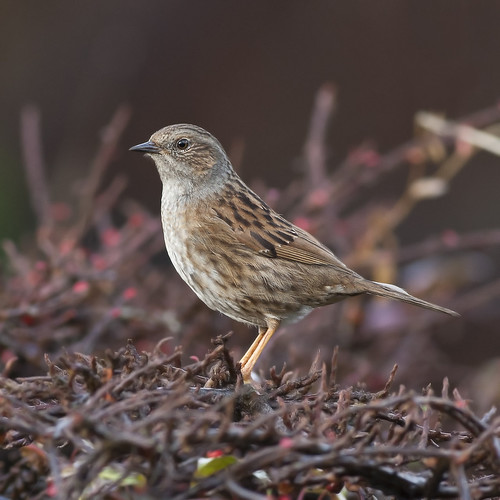 Dunnock | by Jonsfotos