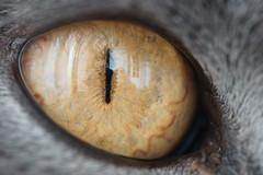 Golden cat eye by LeBaracuda