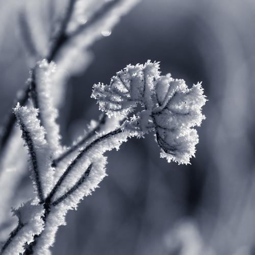 Frost flower 2