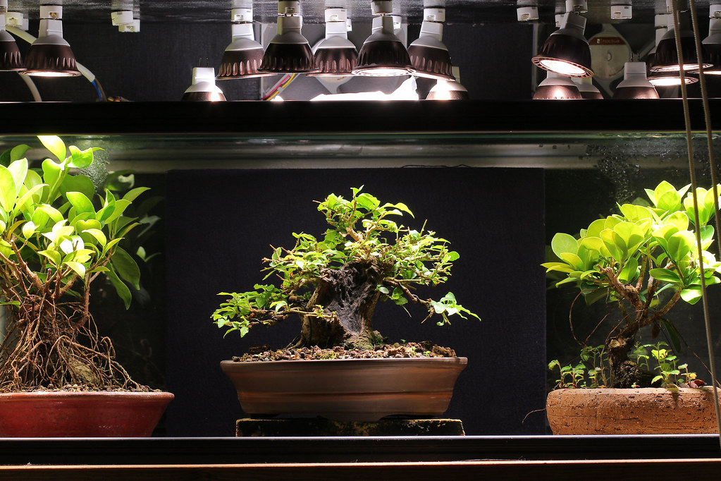 Indoor Bonsai under LED lights. - Page 17 29589703602_e498b9e389_b
