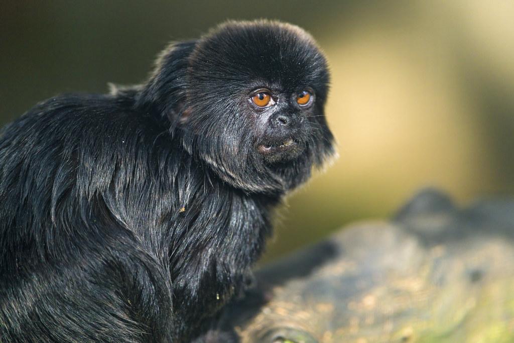 Goeldi S Marmoset Picture Of A Cute Small Black Monkey