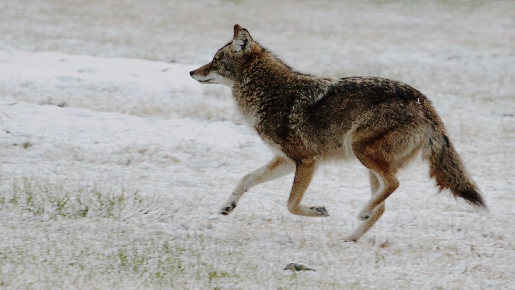 Coyote Running | First snow of the season. A little snow ...  Coyote Running ...