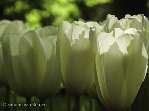 White Tulips | by simonevanbergen