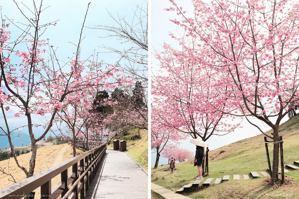 cingjing-farm-taiwan-cherry-blossom-path
