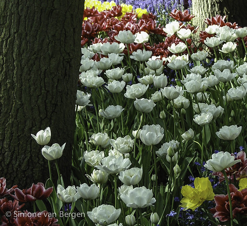 Tulips under a tree | by simonevanbergen