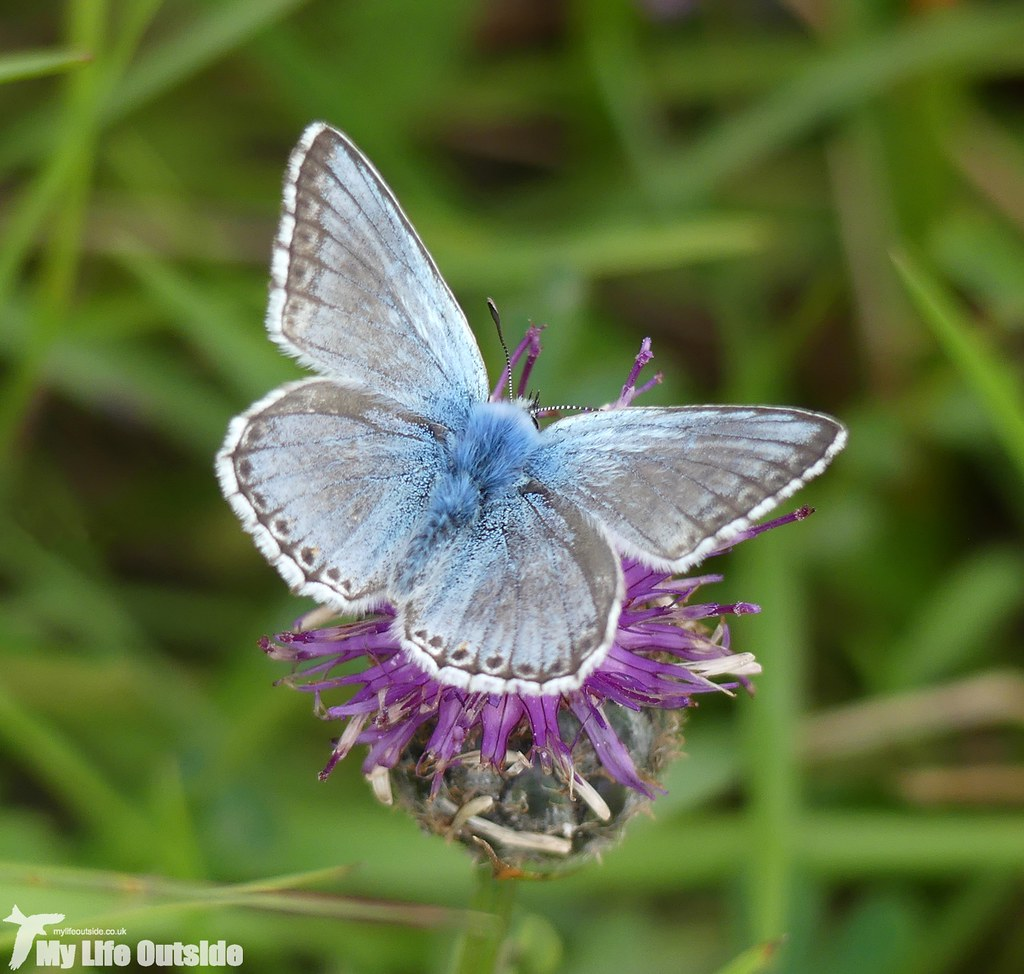 P1040427 - Chalk-hill Blue, Dover