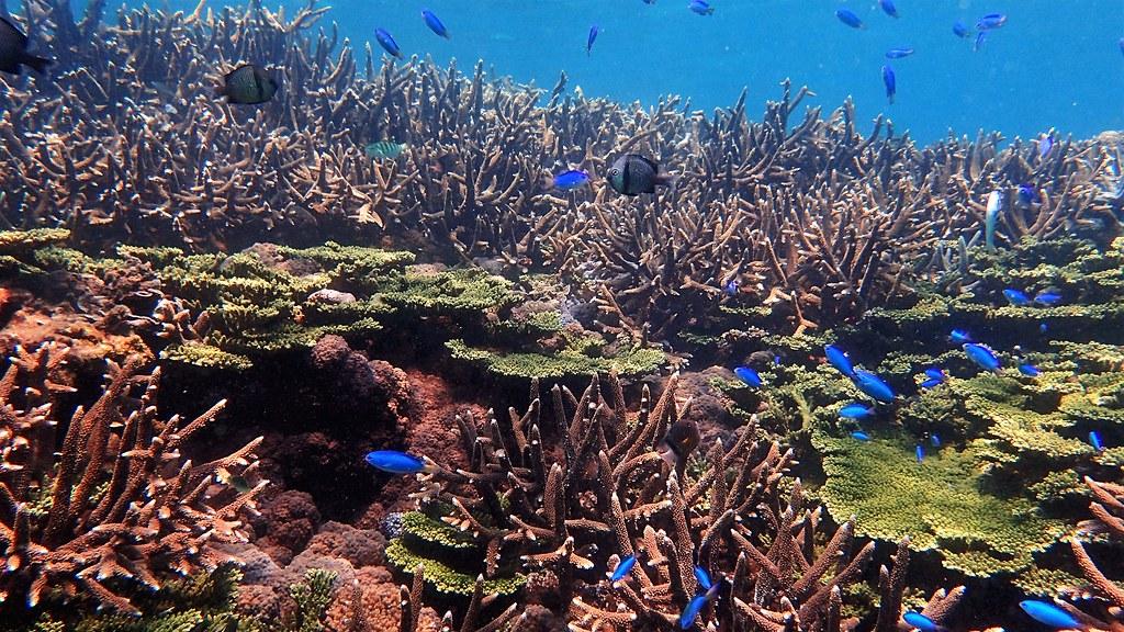 東嶼坪西側多分枝狀軸孔珊瑚。攝影:蕭伊真