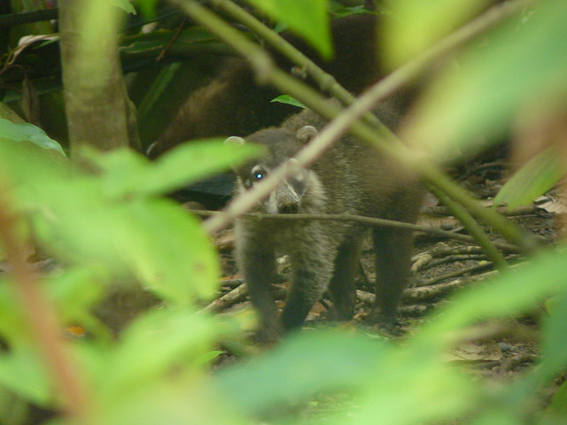 Coatí de nariz blanca (Costa Rica)