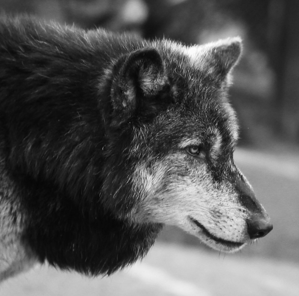 Old Grey Wolf
