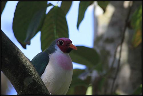jambu fruit dove flying - photo #15