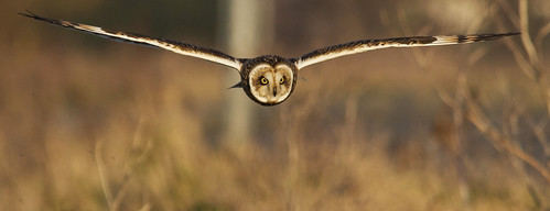 Short Eared Owl  -- BBC Winterwatch Favourite | by 4gyp