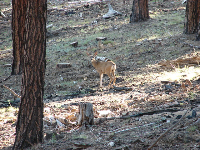 Deer on Pine Mountain